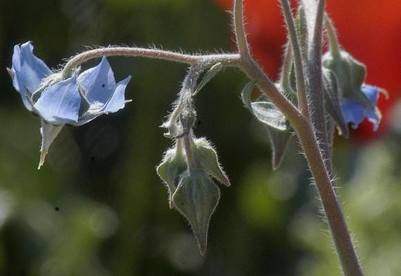 צמרורת בואסיה Trichodesma boissieri Post