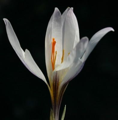 Crocus aleppicus Baker