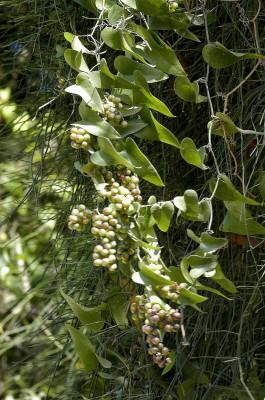 קיסוסית קוצנית Smilax aspera L.