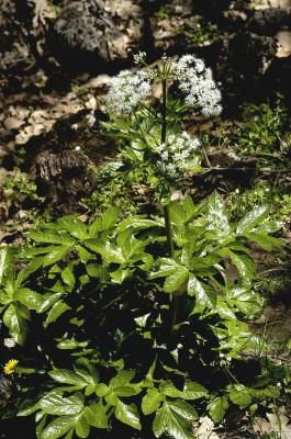 לקוקיה כרתית Lecokia cretica (Lam.) DC.