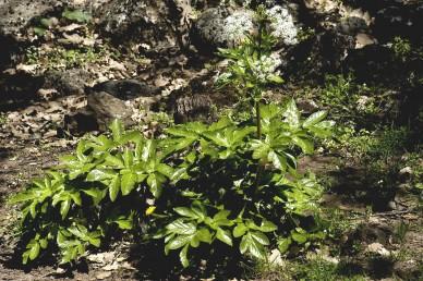 צמחי צל רב-שנתיים קירחים. העלים ערוכים בשושנת ועל גבעול הפריחה, גזורים-מנוצים פעמיים. האונות גדולות משוננות.