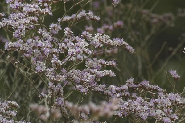 עדעד מאובק Limonium pruinosum (L.) Chaz.