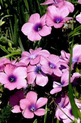 פשתה שעירה Linum pubescens Banks & Sol.