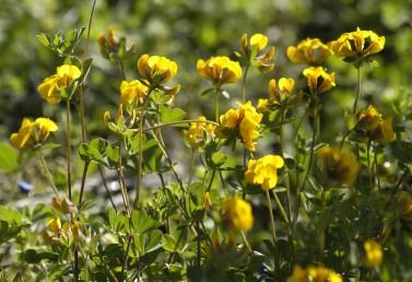 צמחים הגדלים בבתות  ובחורשים.
