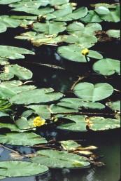 העלים המצויים מעל פני המים דמויי לב בבסיסם. הפרחים צהובים.