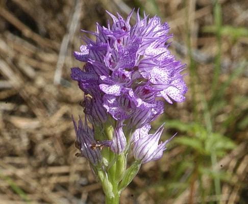 סחלב שלוש-השיניים Orchis tridentata Scop.