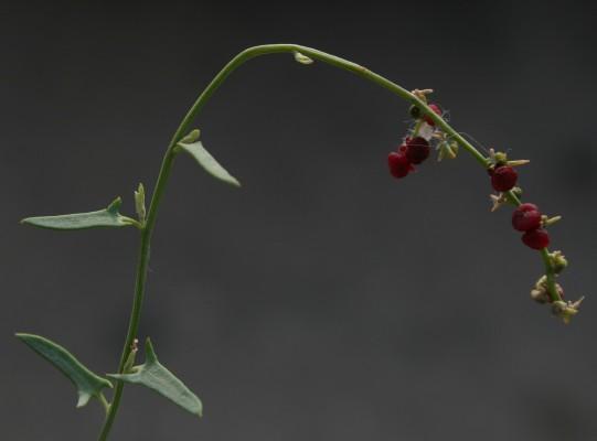 Einadia nutans (R.Br.) A.J.Scott