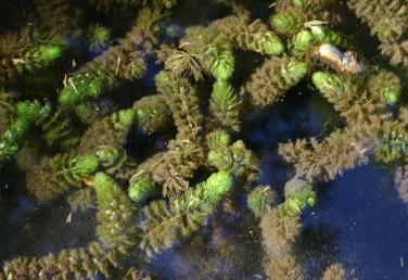העלים מסתעפים בצורה דו-קרנית 2-1 פעמים; האונות דמויות סרגל, משונשנות בצפיפות.