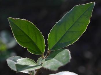 שיחי- או עצי-חורש ים-תיכוני. העלים קירחים, מבריקים ושטוחים, משוננים כמשור בשפתם.