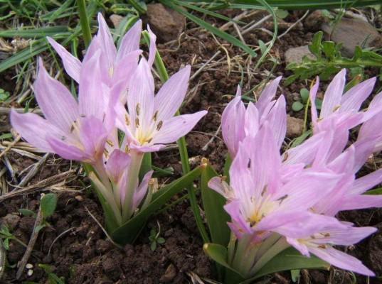 סתוונית קצרת-עלים Colchicum szovitsii (Boiss. & Hausskn.) K. Perss.