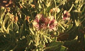 Hyoscyamus boveanus (Dunal) Asch. & Schweinf.