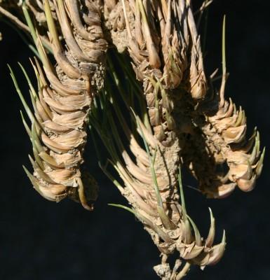 חלפה רותמית Lygeum spartum Loefl. ex L.