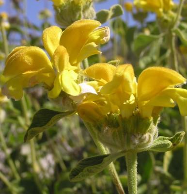 שלהבית צהובת-עלים Phlomis chrysophylla Boiss.