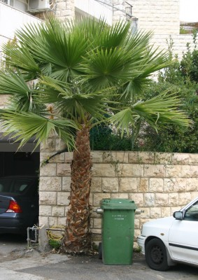 ושינגטוניה חסונה Washingtonia robusta H. A. Wendl.