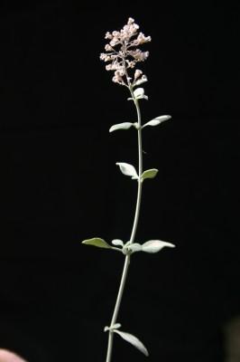 Micromeria fruticosa (L.) Druce