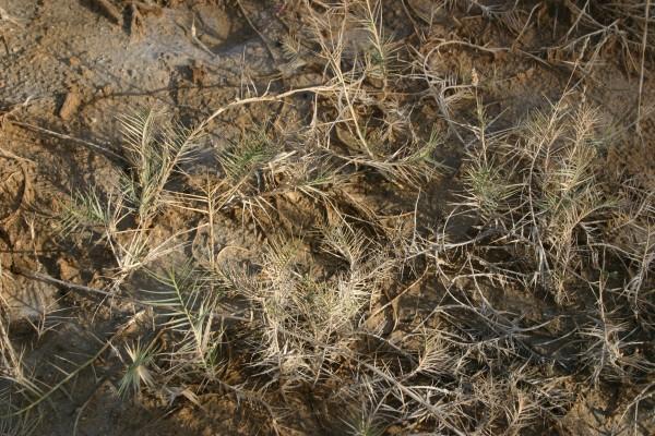 כף-חתול שרועה Aeluropus littoralis (Gouan) Parl.
