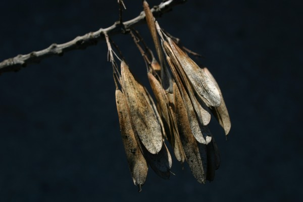 מילה סורית Fraxinus angustifolia Vahl