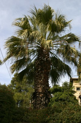 ושינגטוניה חוטית Washingtonia filifera (Lindl. ex Andre) H. A. Wendl.
