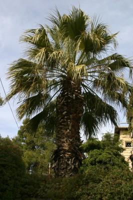 ושינגטוניה חוטית Washingtonia filifera (Lindl. ex Andre) H. A. Wendl.