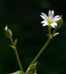 עמודי-עלי 3 (בפרח הימני), אבקנים 10. עלי-הכותרת בעלי שנץ.