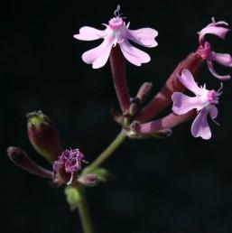 הגביע אדום בעת הפריחה; עורקיו אינם בולטים.
