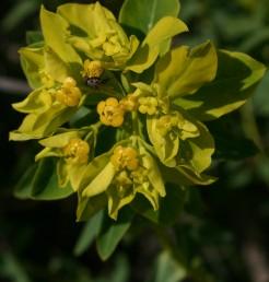 צמחי הגלילות הים-תיכוניות, התפרחות ערוכות בסוככים בני 6-3 קרניים.