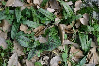 העלים בעלי כתמים כהים.