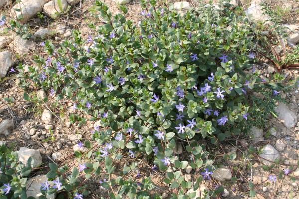 Vinca herbacea Waldst. & Kit.