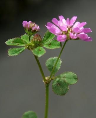 תלתן הפוך Trifolium resupinatum L.