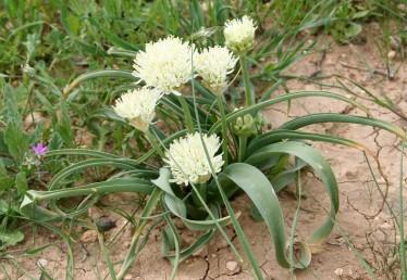 צמח נפוץ בחגורת הספר, נדני העלים תת-קרקעיים