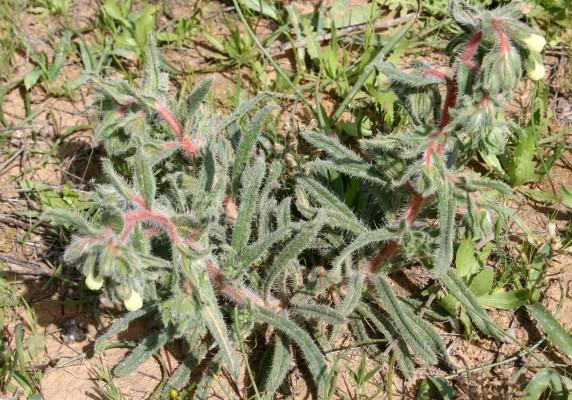 סומקן דוקרני Onosma echinata Desf.