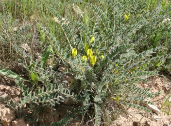 תפרחות קצרות צהובות פרחים מצויות בין עלי שושנת-עלים  ארוכים מהתפרחות.
