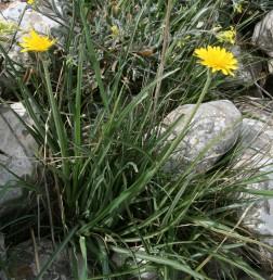 צמחים ירוקים, הגבעולים אינם מסועפים, נושאים עלים עד למטה ממחצית אורכם. צבע הפרחים צהוב.