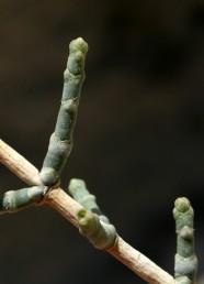 העלים הקשקשיים מעוגלים בראשם וכך בונים גבעולים מעוגלים.