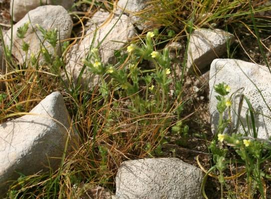 עלקלוק צהוב-פרחים Parentucellia latifolia (L.) Caruel
