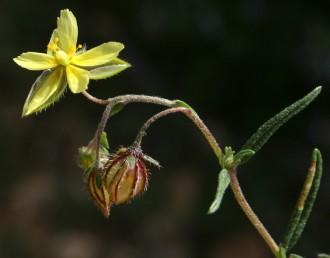 עוקצי הפרחים או הפירות משתלשלים כלפי מטה לאחר הפריחה. הגביע קרומי, מתנפח לאחר ההפריה עורקיו אדומים בולטים.