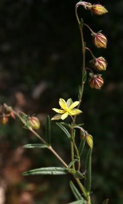 שמשון מצרי Helianthemum aegyptiacum (L.) Mill.