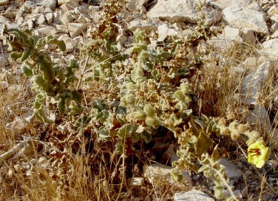 בוצין הירדן Verbascum jordanicum Murb.