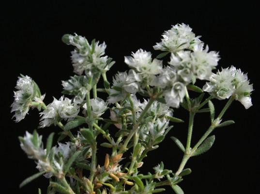 אלמוות הקרקפות Paronychia capitata (L.) Lam.