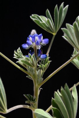 תורמוס שעיר Lupinus micranthus Guss.