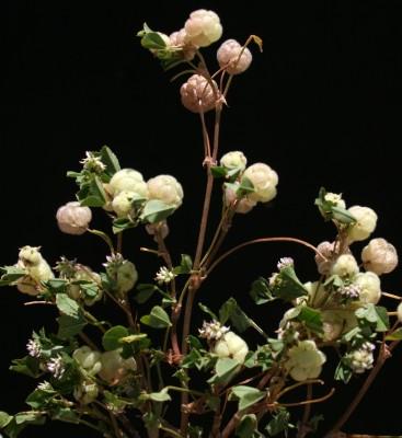 תלתן גולתי Trifolium bullatum Boiss. & Hausskn.