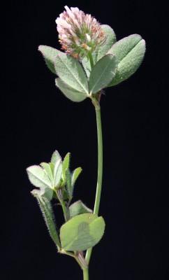 תלתן קיפודני Trifolium lappaceum L.