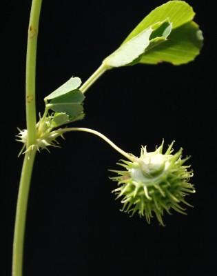 Medicago polymorpha L.
