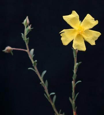 לוטמית ערבית Fumana arabica (L.) Spach