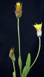 צמחים עשבוניים. הקרקפות נישאות על עוקצים ארוכים, פרחיהן צהובים. חפי-המעטפת קרומיים.