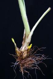 בחיק העלים, יושבות בגובה פני האדמה תפרחות שצורתן אינה רגולרית וגם להן פרחים צהובי-כותרת.