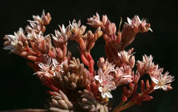 צורית בלוטית Sedum rubens L.