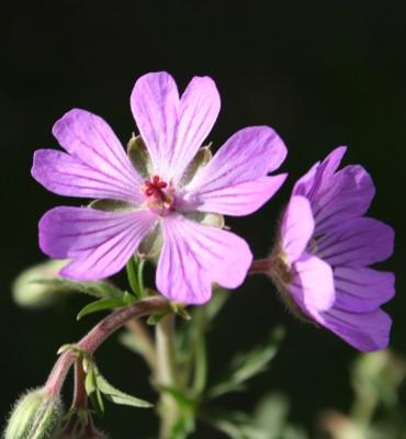 גרניון הפקעות Geranium tuberosum L.
