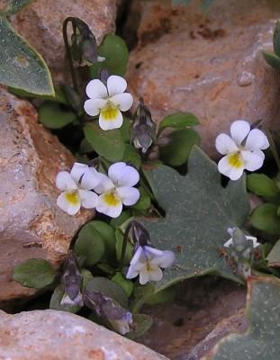 סיגל צנוע Viola modesta Fenzl