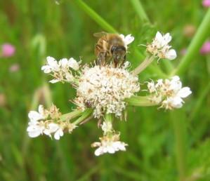 סוכך בפריחה; הסוככון המרכזי גדול, יושב, פורה; ההיקפיים אבקניים ונישאים על עוקצים ארוכים.